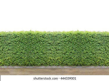 isolated Green Bushes fences with concrete floor at walk way