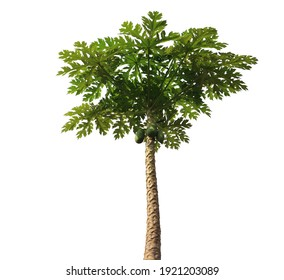 Isolated green Carica papaya tree on white background with clipping paths. Papaya (also called papaw, pawpaw, or Carica papaya). Both ripe and unripe papaya is good for your health.