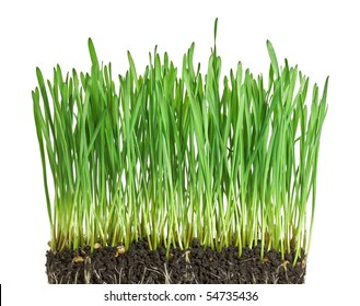 Isolated green grass with ground on white background - wheat sprouts (corn shoots)