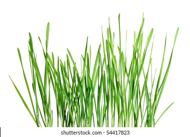 Isolated green grass pattern on white background - corn shoots