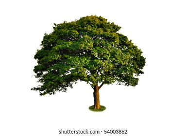 Isolated green large tree