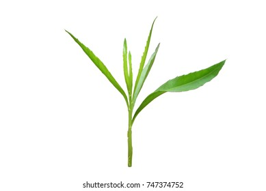 Isolated green leaf, plant.