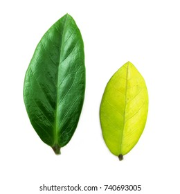 Isolated Green leave and yellow leave