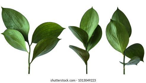 Isolated green leaves.