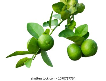 isolated  Green limes  on the tree,  on white background.