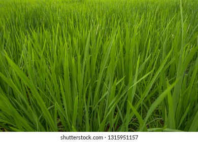 Isolated green paddy leaves in the rice field