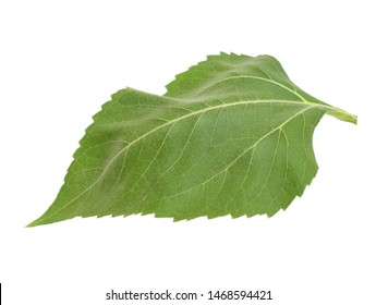 An isolated green sunflower leaf