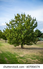 An isolated green tree