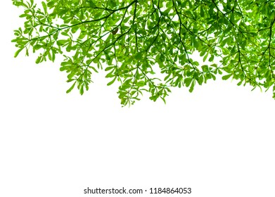 isolated green tree leaf on white background