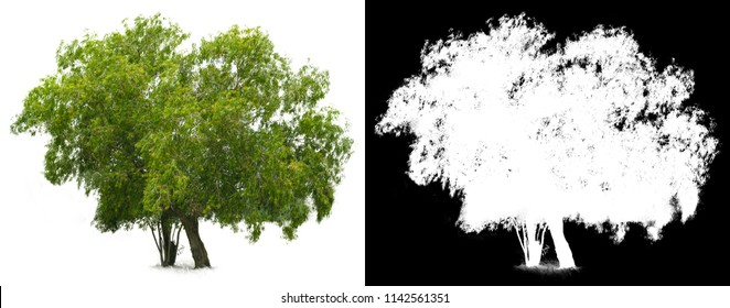 Isolated green tree on white background, The collection of trees, Use for design, retouch, advertising, architecture, die cut with alpha channel