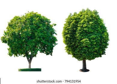 Isolated green trees on white background with clipping path.