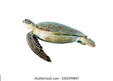 Isolated green turtle portrait with white background