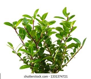 Isolated green twigs of an ilex crenata bush