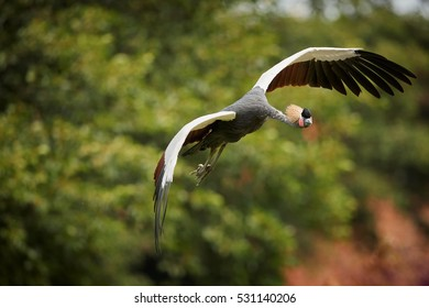 Isolated Grey crowned crane, Balearica regulorum, national bird of Uganda with crown of stiff golden feathers,  flying directly at camera against green background. Uganda, Murchison falls, Africa.