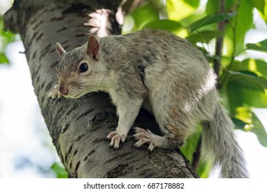 Isolated grey squirrel looking at you