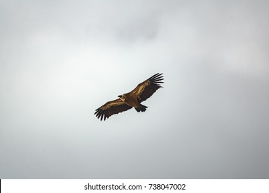 Isolated Gyps fulvus vulture flying against the gray sky