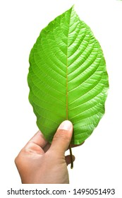 isolated hand holding Kratom (Mitragyna speciosa) Mitragynine on white background. Drugs and Narcotics.Kratom is Thai herbal which encourage health.