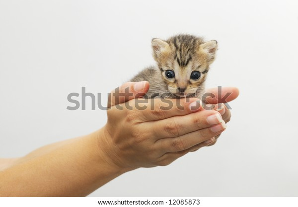isolated Hands cupping young kitten - animal protection concept