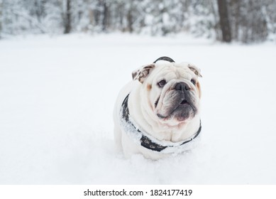 Isolated happy English bulldog on a cold winter day covered in snow