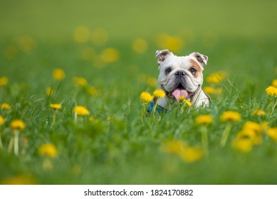 Isolated happy English bulldogs on a summer day in a field with flowers