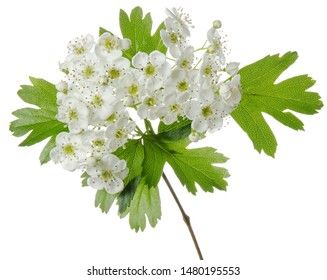 Isolated hawthorn flower. Flowering whitethorn branch with spring flowers and green leaves on white background. Medicinal plant