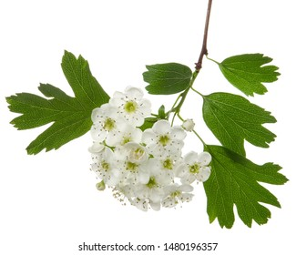 Isolated hawthorn flower, whitethorn inflorescence on branch with green leaves on white background. Herbal medicine plant