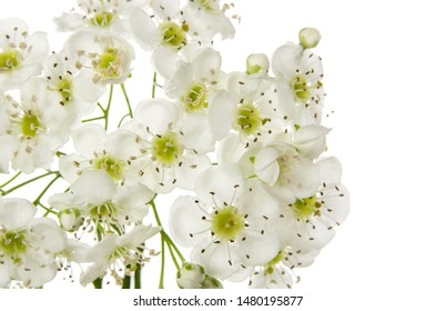 Isolated hawthorn flower. Whitethorn spring flowers bunch on white background. Close-up, macrophotography. Herbal medicine and honey plant