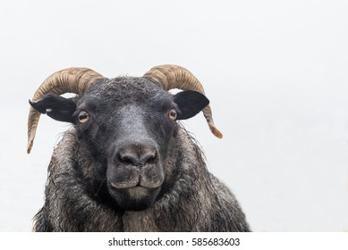 isolated head of a black sheep with cornets