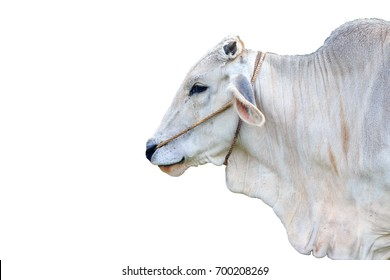 Isolated head cow on white background