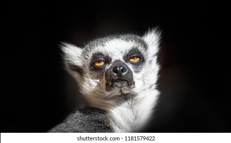 Isolated head of a Ring-tailed lemur in sunlight.