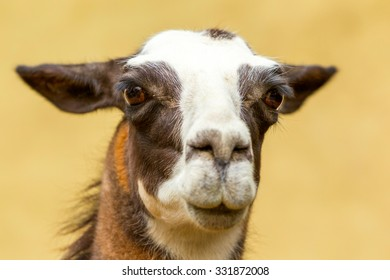 Isolated Headshot Of An Adult Female Lama Glama