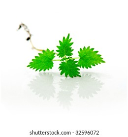 isolated herbal nettle with root and reflection