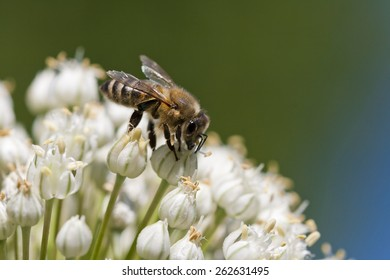Isolated honey bee collecting nectar on a flower