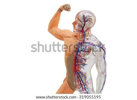Isolated Human Anatomy Model Isolated Human Stock Photo (Edit Now ...