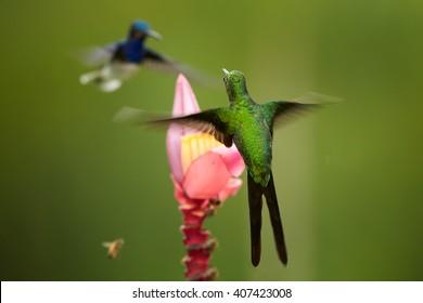 Isolated hummingbirds, shining Empress Brilliant, Heliodoxa imperatrix and White-necked Jacobin,Florisuga mellivora, hovering in threatening pose around pink banana flower. Bellavista, Ecuador.