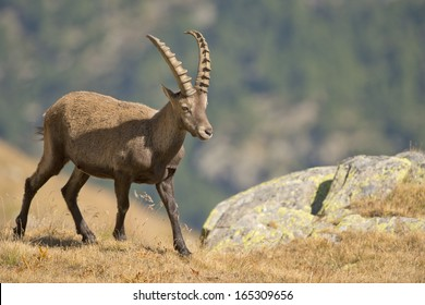 An isolated ibex deer long horn sheep close up portrait on the brown and rocks background in Italian Dolomites