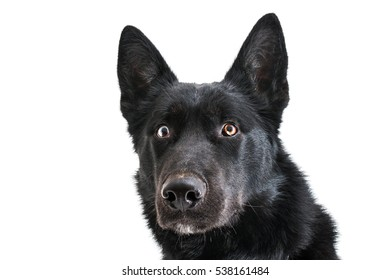 Isolated image of a black half breed husky