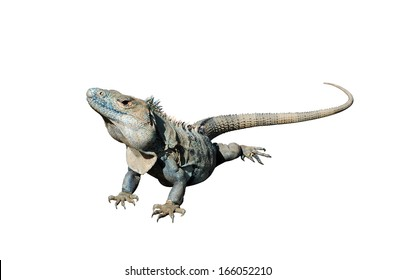 Isolated image of iguana, Costa Rica, Central America