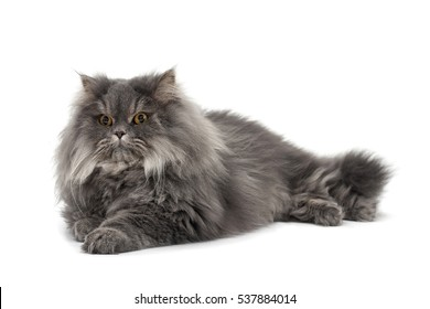Isolated image of a lying persian cat