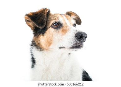Isolated image of a male half breed dog