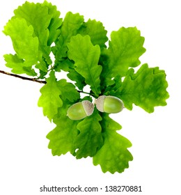 Isolated image of oak leaves and acorn on white background