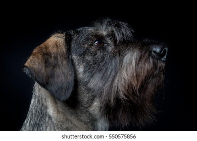 isolated image of a schnauzer