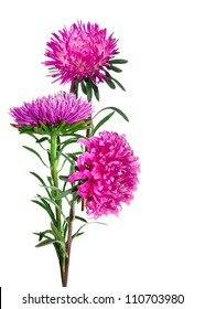isolated image of three asters on a white background