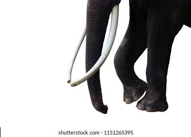 isolated image of tusks, trunk. and legs parts of asian elephant
