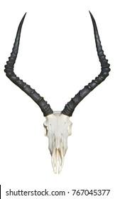 isolated impala skull