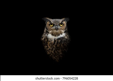 Isolated intense Great Horned Owl stare
