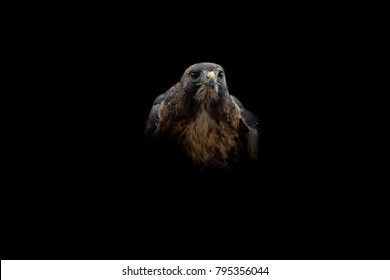 Isolated Intense Harris Hawk Looking Right