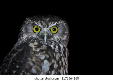 Isolated intense Owl stare. It is staring into the camera. It was taken during night time. The eyes are big and beautiful. The look seems evil, sinister and angry. Owls are great predator birds.