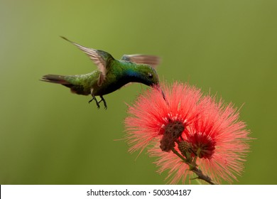 Isolated, iridescent blue-green, caribbean hummingbird, Black-throated Mango, Anthracothorax nigricollis, feeding on nectar from red mimosa flower, Calliandra haematocephala, Trinidad & Tobago.
