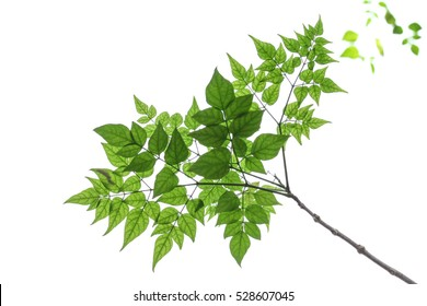 isolated , isolate fresh tree branches and green leaves see through inner surface stem , vein , tip , margin good for photoshop three
